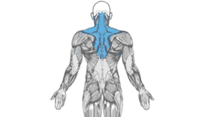 Human Back Muscles work